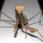 macro photography praying mantis